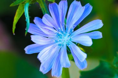 Chicory flowers on meadow. Blooming chicory flowers on a green grass. Meadow with chicory flowers. Wild nature flower. Chicory flowers on field in summer day.