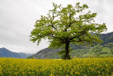 green oak tree in a blossoming yellow canola rapeseeed field in the mountains of Switzerland