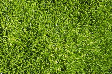 Scleranthus, a native Australian grass-like ground-cover plant.