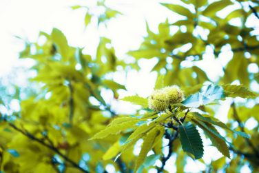 A branch of Chestnuts on a Sweet Chestnut Tree, Castanea sativa, growing in woodland in Spinoso, Basilicata, Italy