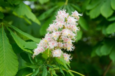 All flowers are beautiful in their own way. Cluster with white chestnut flowers. Chestnut blossom with tiny tender flowers and green leaves background. Chestnut flower. Chestnut blossoming in spring.