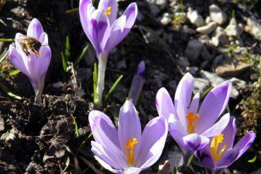 Autumn crocus (Colchicum autumnale), Meadow saffron, Naked ladies, Die Herbstzeitlose, Herbst-Zeitlose or Mrazovac