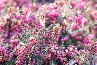 Blooming Calluna vulgaris, known as common heather, ling, or simply heather. Natural spring background with sun shining through pink beautiful flowers.