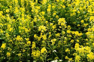Blooming mustard. closeup view of mustard yellow flowers blooming in field.