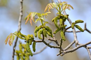 Blossoming of walnut (Juglans regia) in the spring