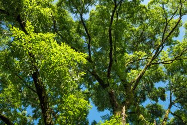 Bright green elm tree leaves under lots of spread branches