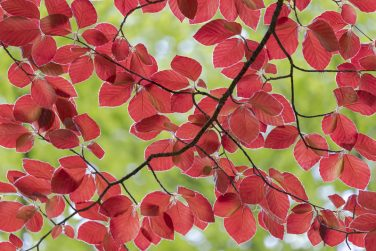bright red leaves of a red copper beech tree, Fagus sylvatica, vibrant backlit leaves in spring