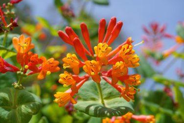 Close up Honeysuckle with two-lipped, tubular scarlet-orange flowers. Lonicera sempervirens  flowers, common names coral honeysuckle, trumpet honeysuckle, or scarlet honeysuckle, in bloom.