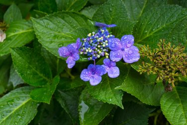 Close up of blue violet flowers blooming in the garden. Fresh spring flowers nature close up with water drops
