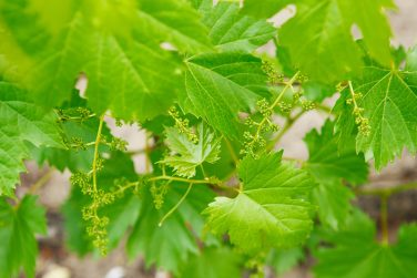 Grape flower buds, baby grapes, small berries. Close-up of flowering grape vines, grapes bloom in spring time. Grape seedlings on a vine, small flower buds. Young green grape branches on the vineyard.