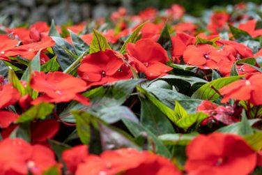 """Impatiens hawkeri, the New Guinea impatiens """"fior di vetro"""" grown at greenhouse"""