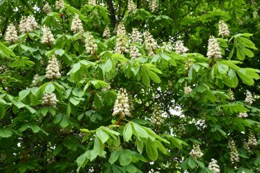 Natural backdrop of white flowers among lush foliage of chestnut tree. Pyramid shape inflorescence of chestnut tree. Springtime blooming season. Floral and leaf textures.