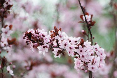 Pink cherry plum blossom, purple-leaf tree, Prunus cerasifera , detail, branch, blossoms, tree, Turkish cherry, wild plum-tree, wild plums flower at full bloom in spring in a beautiful sunny day