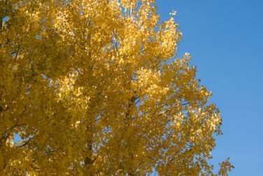 Quaking aspen tree with beautiful yellow orange fall colors against a blue sky. Room for copy space