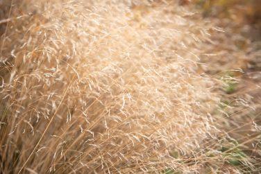 Ripe wild oat spilling in the wind on the field in hot summer