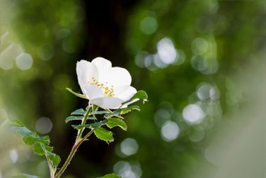 Rosehip or rose hip or white wild rose flower on the blurred nature background
