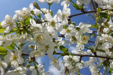 The Apple tree blooms. Apple blossoms close-up. flowering tree. Beautiful white Apple blossoms and green leaves. flowering Apple tree in Sunny weather.