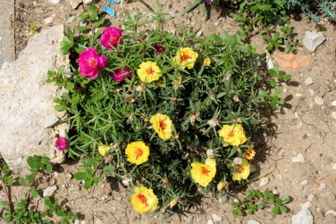 Top view of Moss rose or Portulaca grandiflora or Rose moss or Ten oclock or Mexican rose or Vietnam rose or Sun rose or Rock rose or Moss rose purslane fast growing annual plant with open blooming yellow and dark pink flowers and closed flower buds with