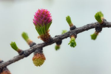 twig blossoming larch in the spring close up