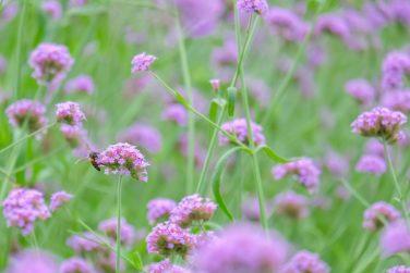Verbena Bonariensis (Argentinian Vervain or Purpletop Vervain, Clustertop Vervain, Tall Verbena, Pretty Verbena), purple flower vintage, blurred and soft background.
